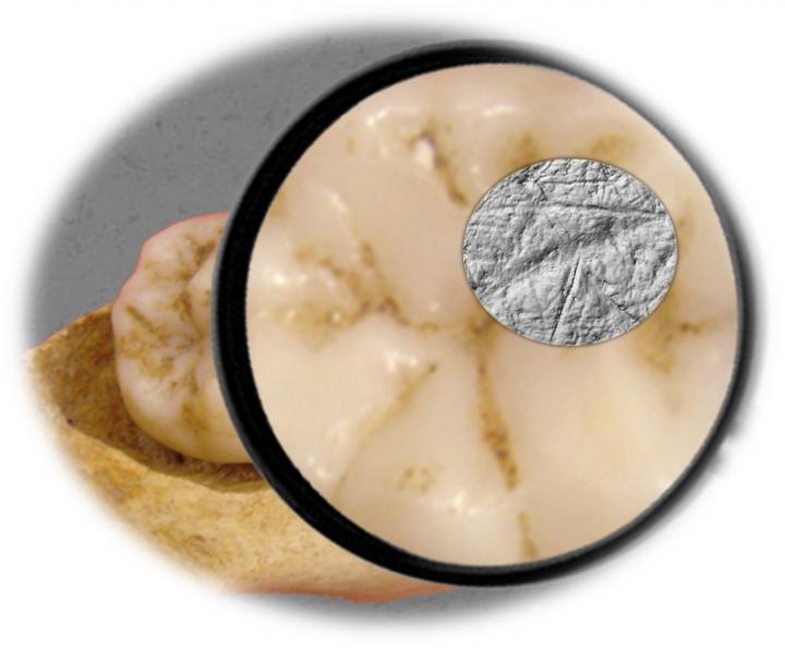 Следы износа на поверхности зуба. Image credit: Sireen El Zaatari PLOS ONE e0153277