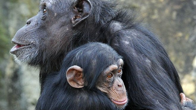 151125100006_chimp_young_chimpanzee_and_his_mum_624x351_getty_nocredit