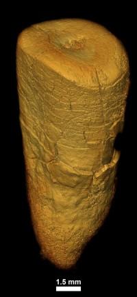 Зуб неандертальца из пещеры Les Cottés Credit: © MPI f. Evolutionary Anthropology/ A. Le Cabec