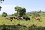 Крупный рогатый скот в Кении.  Credit  A. Janzen