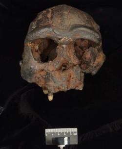 Реплика черепа H. erectus с острова Ява. Источник: Trustees of the Natural History Museum.