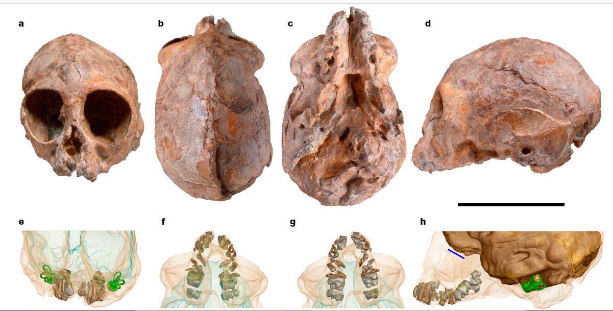 Сверху - череп KNM-NP 59050. Снизу - результаты рентгеновской томографии черепа, показаны зубы, костный лабиринт внутреннего уха, эндокран. Иллюстрация из обсуждаемой статьи