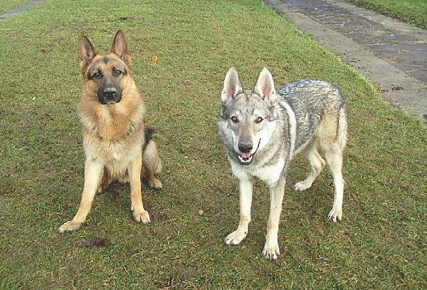 Чем-отличается-волк-от-собаки