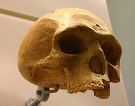 Череп из Флорисбада (Южная Африка), считающийся принадлежащим Homo helmei, переходному виду к Homo sapiens.