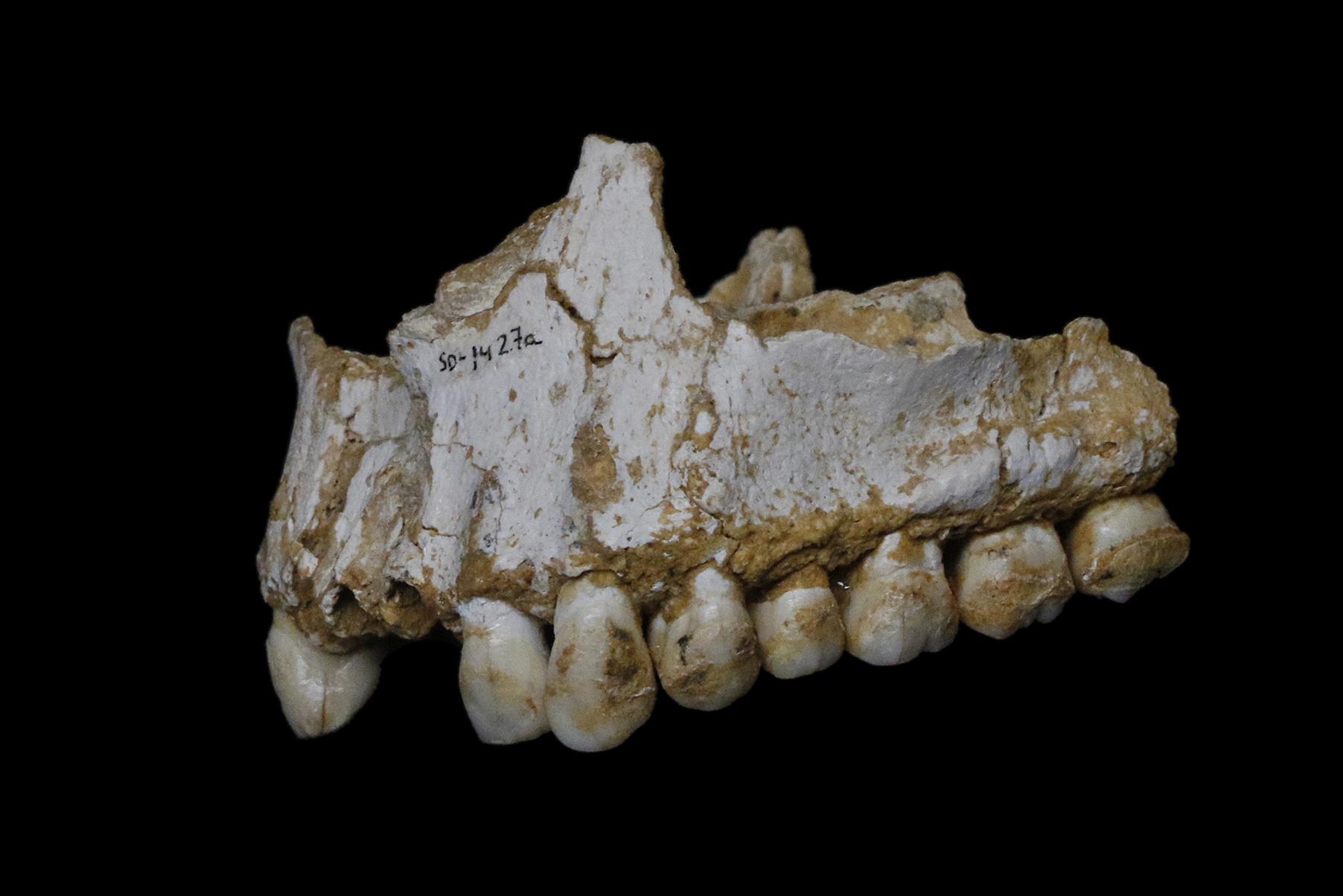 Верхняя челюсть неандертальца из пещеры Эль-Сидрон