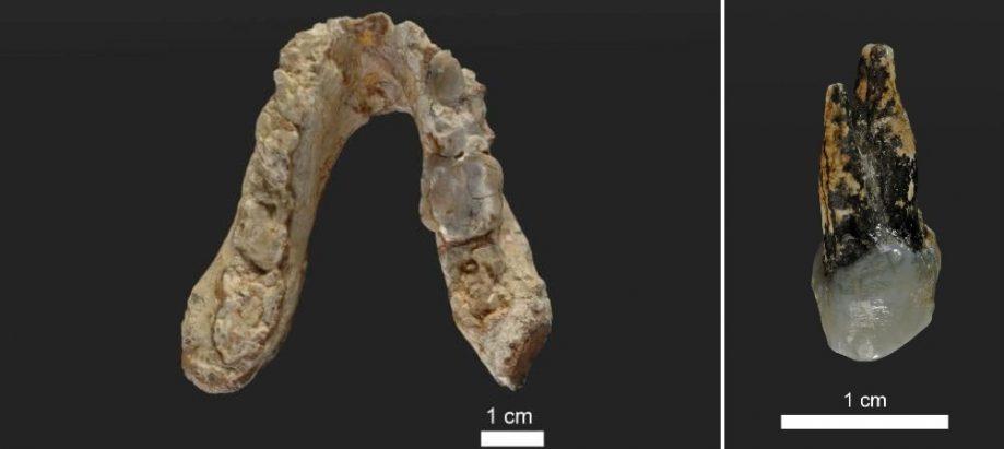 Челюсть и зуб грекопитека.