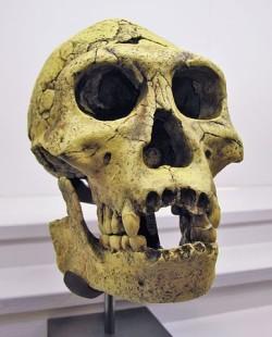 Реконструкция черепа человека из Дманиси (https://ru.m.wikipedia.org/wiki/%D0%A4%D0%B0%D0%B9%D0%BB:Homo_Georgicus_IMG_2921.JPG)