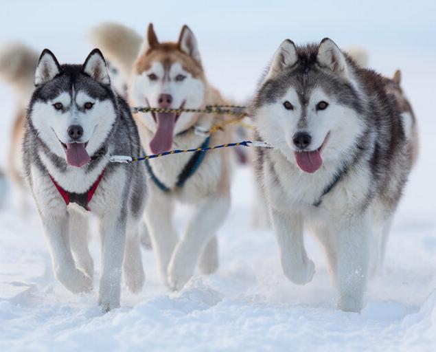 Husky_Dogs_1