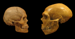 Череп Homo sapiens (слева) и неандертальца (справа).  (Credit: Wikimedia Commons)