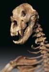 Скелет пещерного медведя (фото с сайта Дарвиновского музея http://www.darwinmuseum.ru/projects/exhibition/hrap-peshernogo-medvedya)