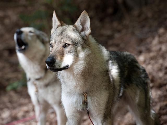 Собака породы Саарлос  вольфхунд