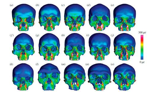 Результат анализа методом конечных элементов «переднего укуса» для 10 черепов Homo sapiens (a—k), гейдельбергского человека (l) и трёх неандертальцев (m—o).