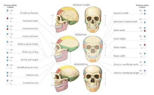 Реконструкция профиля черепа денисовца в сравнении с черепом современного человека и неандертальца (из статьи Gokhman, et al. , 2019)