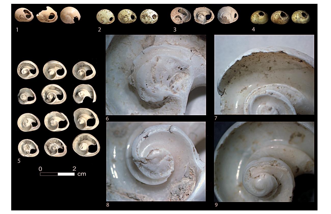 Бусины из раковин Cyclope neriteaornamental, найденные в Италии и на Балканах (D. Boric,  E. Cristiani)