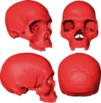 Виртуальный череп последнего общего предка Homo sapiens. Credit: Aurélien Mounier / CNRS-MNHN